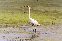 Egret on the Marsh