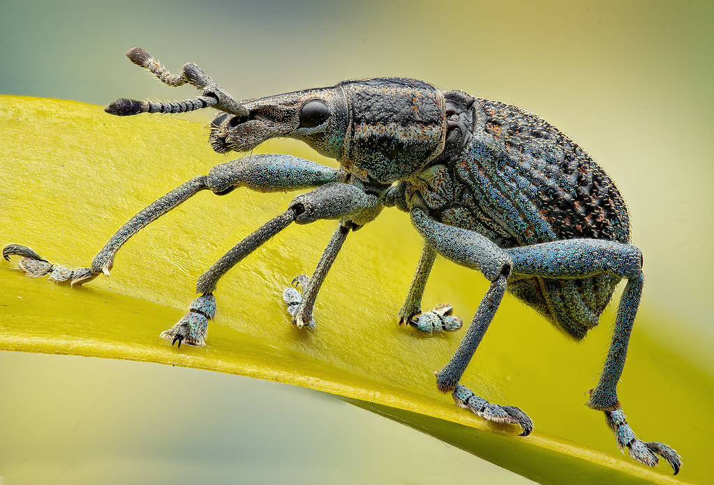 Curculionidae - ID?