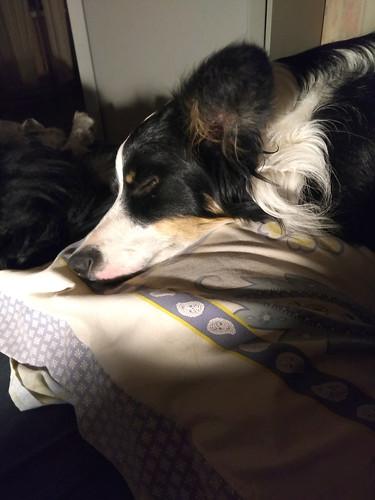 8/12 Ada on her beloved pillow