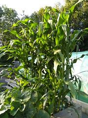 Christine's Corn
