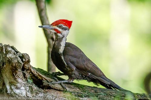 Pileated Woodpecker 3