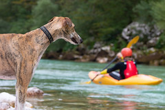 Dog watching man on kayak