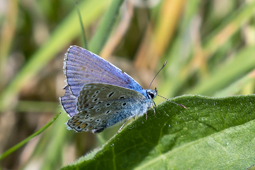 Icarusblauwtje-Common Blue (Polyommatus icarus)