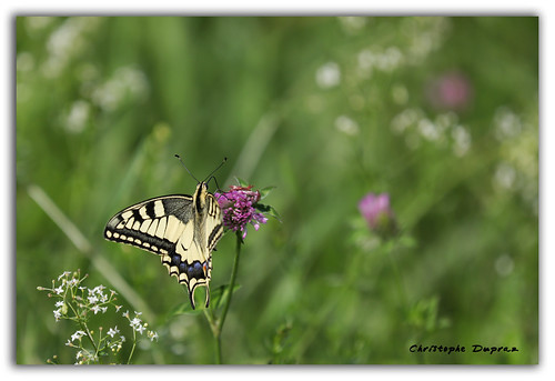 06082019 EOS 6D Mark II - 033_Papillon Machaon1