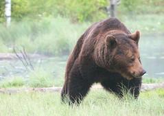 The wild bear in wilderness