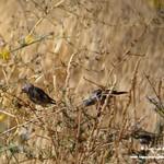 Aves e insectos en las lagunas de La Guardia (Toledo) 25-8-2019