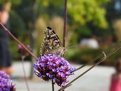 Painted Lady Butterfly DSCN9818