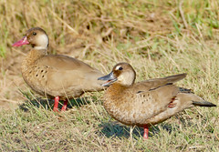 Brazilian Teals (Amazonetta brasiliensis) male and female (front) ...
