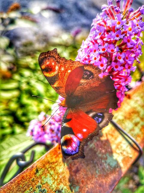Photo:Butterfly By ohefin