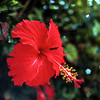 Photo:hibiskus 04 By mathias-erhart