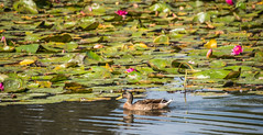 Duck and Lillies