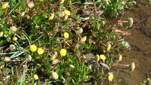 Laugenblume - hinter dem Deich, vor den Salzwiesen