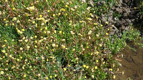 Krähenfuß-Laugenblume (Cotula coronopifolia) (2)