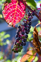 berries on a vine 0102