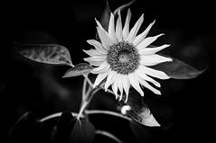 Sunflower- Monochrome