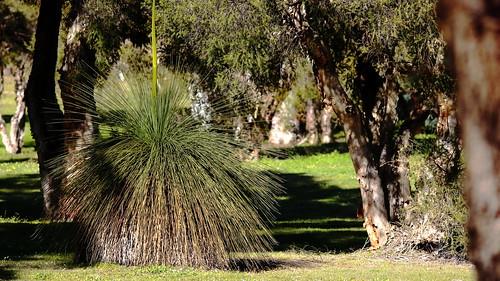 2019_08_26-Grass Tree (6)-Jpeg