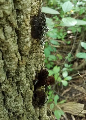 Chocolate Tube Slime Mold - stemonitis sp