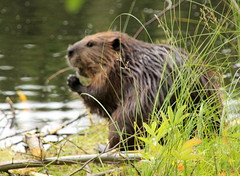 The beaver food prayer