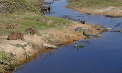 Capybaras and Jacare Caimans ...