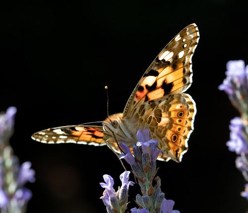 Schmetterlinge_24