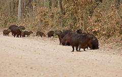Capybaras (Hydrochoerus hydrochaeris) herd on the road ...