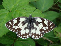 5 - Marbled White, Browns
