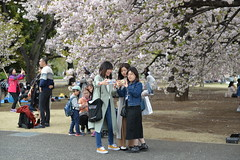 Japanese girls take selfies against another clump of sakura (cherry blossom) trees