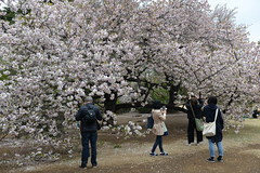 Everyone is enamoured of the sakura, including these Chinese tourists