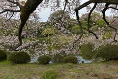 Sakura (cherry blossom) flowers overhang the lake
