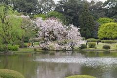 Spot the sakura (cherry blossom) tree at the far end?