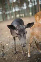 Portrait of a juvenile deer in the park