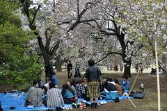 Japanese families enjoy Hanami under the sakura trees