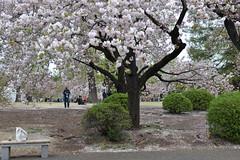 Love the cushion of sakura flower petals on the floor!