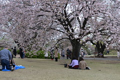 Families relax under lush sakura (cherry blossom) trees