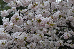 I was lucky to spot so many so many pink sakura past their peak blooming time