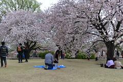 Thanks to late blooming, there were still plenty of pink sakura around