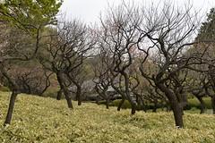 I was thinking  I would see bare sakura trees like these