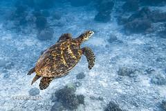 Sea Turtle on Surin Islands    IMG_2083b2s