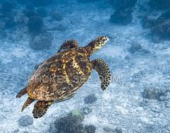 Sea Turtle on Surin Islands    IMG_2083b2s2