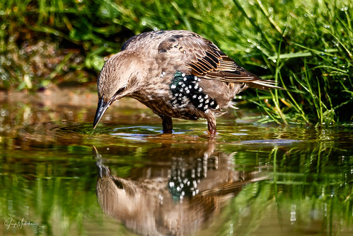 Common Starling drinking water