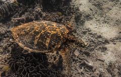 Sea Turtle on Surin Islands    IMG_2089bs-NW