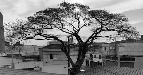Our Sibipiruna, São Caetano do Sul, São Paulo, Brasil.