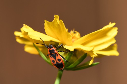 Gemeine Feuerwanze - firebug