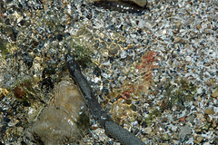 Nerodia sipedon insularum (Lake Erie water snake) (South Bass Island, Lake Erie, Ohio, USA) 9