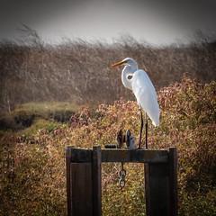 Snowy Egret in the Mid-Morning Sun, Don Edwards Regional Park 1