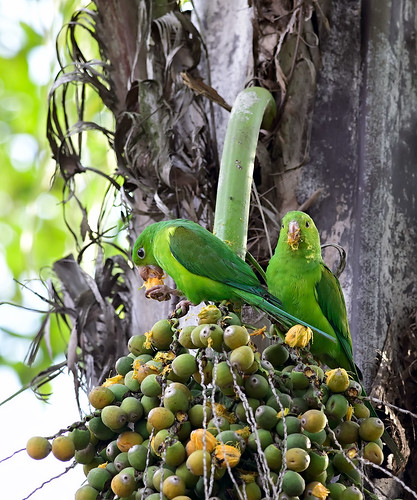 Plain Parakeets eating fruits of Syagrus romanzoffiana