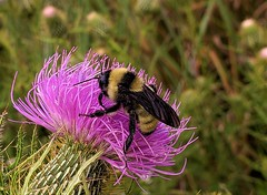 American Bumble Bee At Patuxent