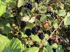 Lopez Island - Wild Blackberries
