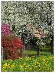 Full Blossom (I)