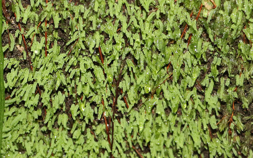 moss (Rhizogonium novae-hollandiae)